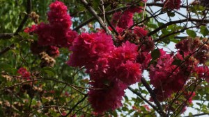 Bunga Bougenville