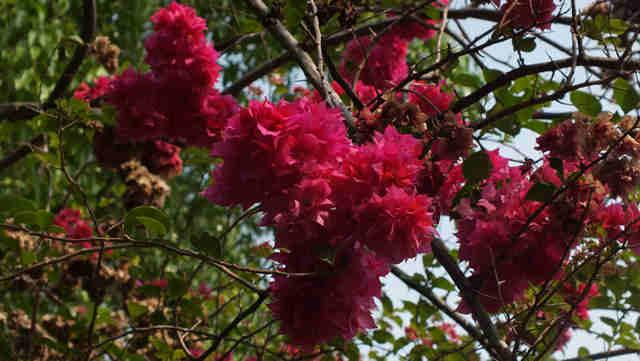 Bougenville Bunga Kertas Nan Mempesona Lovely Bogor