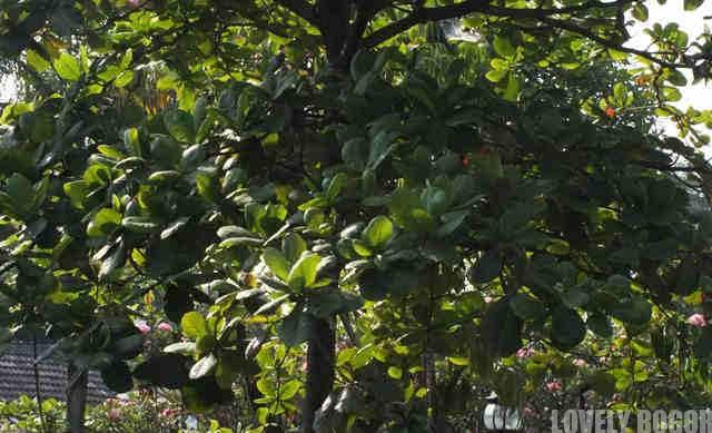 Bentuk Tajuk Pohon Ketapang
