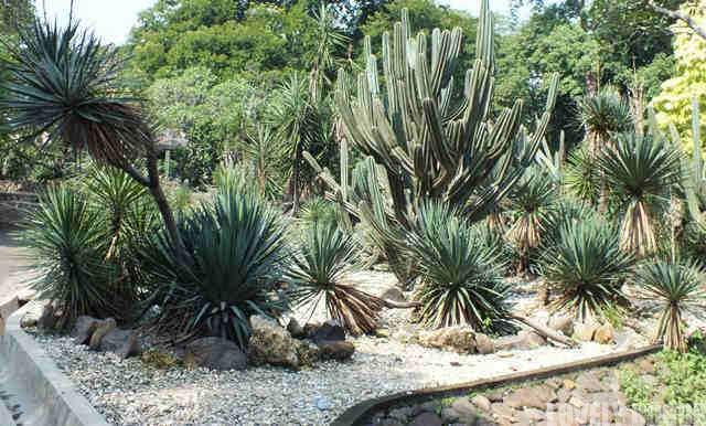 Belati Spanyol di Taman Meksiko Kebun Raya Bogor