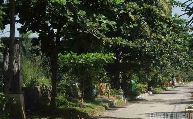 Pohon Ketapang Si Peneduh