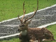 The white spotted deer - Chittai