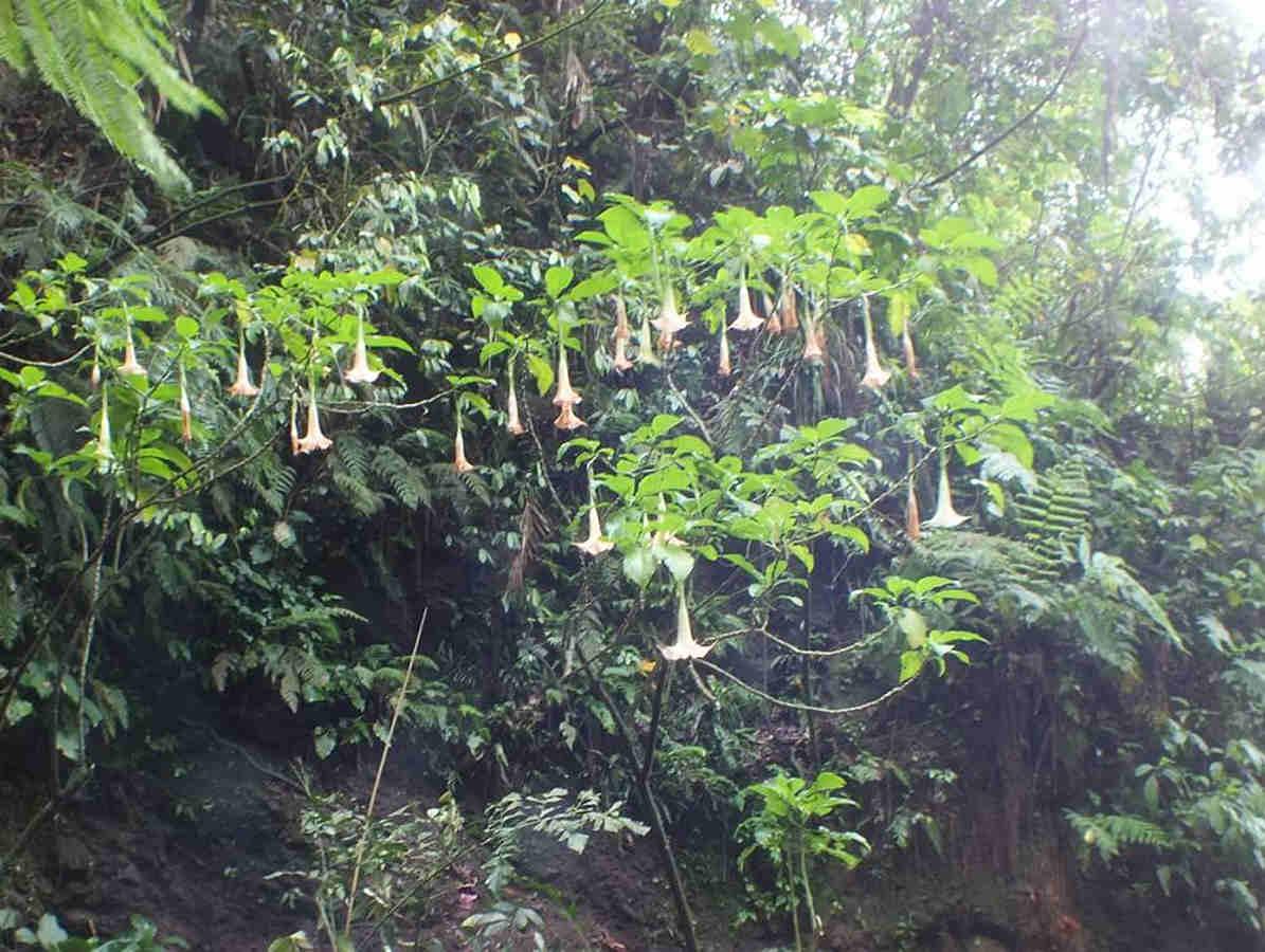 Bunga Kecubung Gunung di Curug Ngumpet