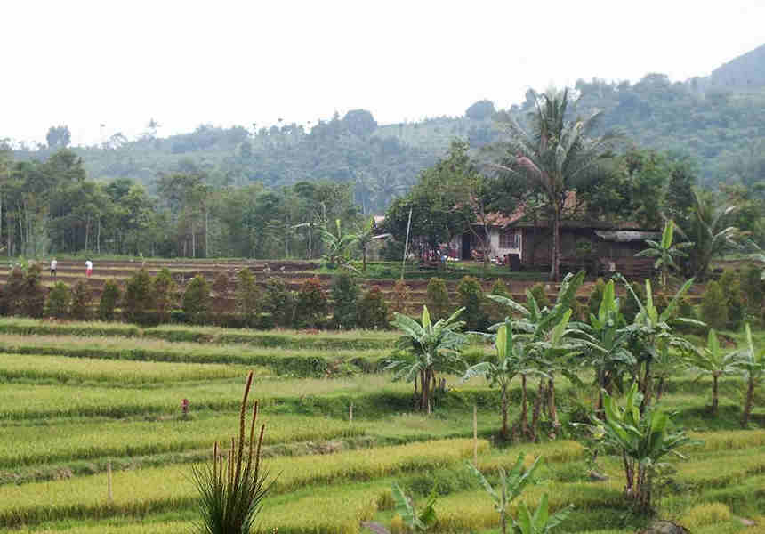 The Rice Field in Bogor