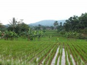 The Rice Field On Salak Mountain Bogor