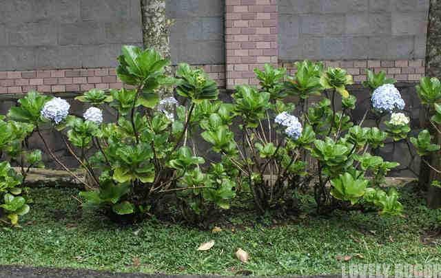 Kembang Bokor Di Bogor