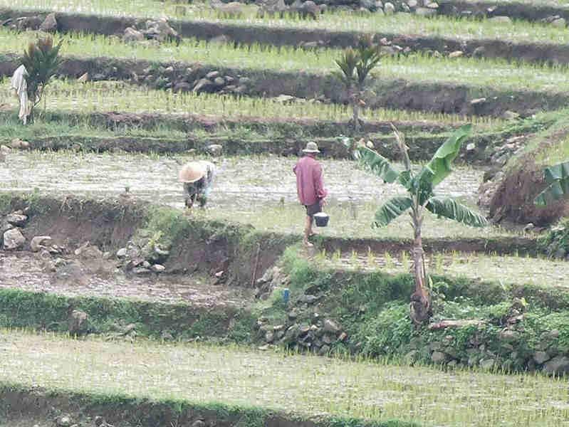 Menanam Padi Di Sawah Bogor