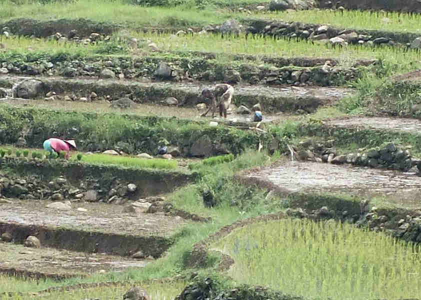 Petani Menanam Padi Di Sawah