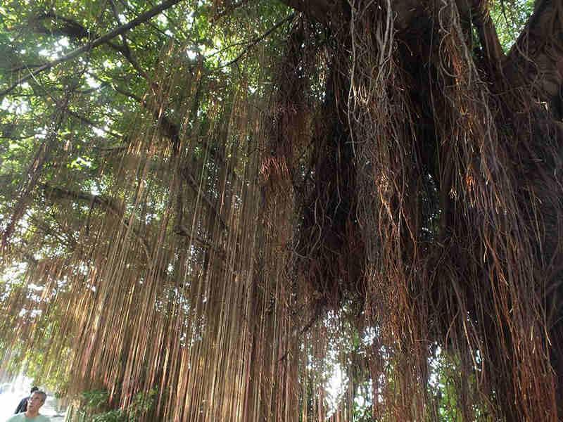 Pohon Beringin Angker, Bogor Menakutkan