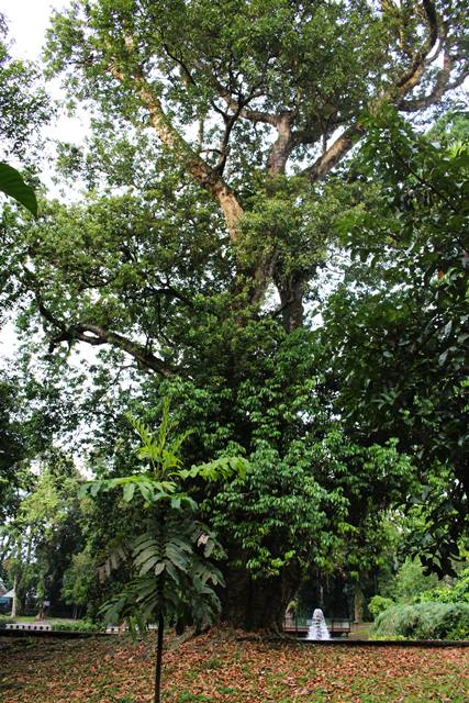 pohon leci tertua di kebun raya bogor - pohon lici tertua di KRB