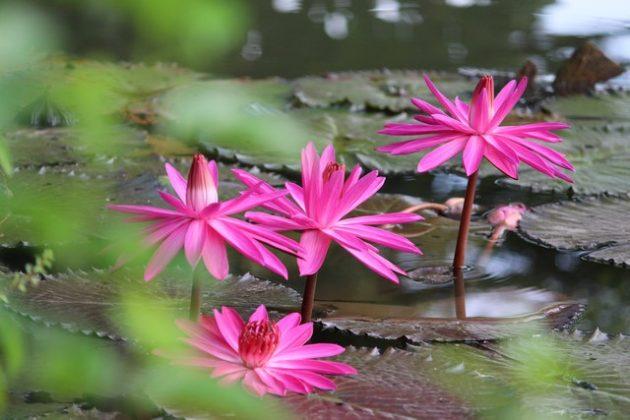 Nymphaea Rubra si teratai pink 01