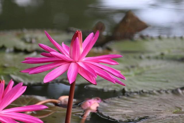 Nymphaea pubescent atau nymphaea rubra atau teratai pink