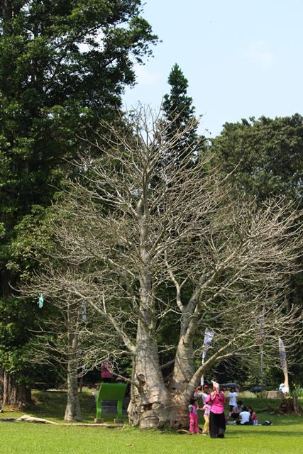 pohon unik tanpa daun di KRB 2