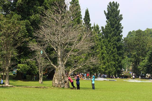 tree with no leaves in bogor botanical garden
