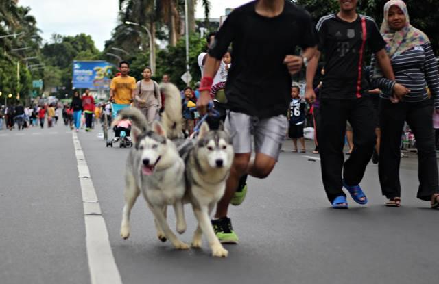 Penampakan Siberian Husky Memang Gagah dan [Kelihatannya] Tidak Galak 2