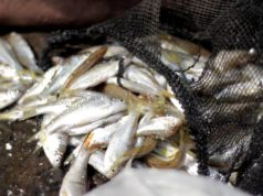 Ikan Gehed Species Asli Sungai Ciliwung A