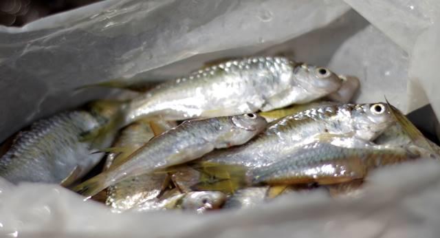 Ikan Gehed Spesies asli Kali ciliwung Genggehek-Kepek