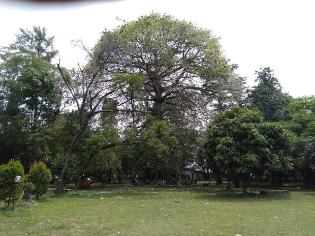 Pohon Kapuk Randu di Pekarangan IPB Baranangsiag