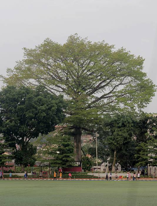 Pohon Kapuk Randu di Sempur Bagus Juga Dijadikan Latar Belakang Foto C