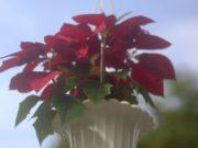 Kastuba Poinsettia gantung Menyemarakkan Trotoar Istana dan Kebun Raya Bogor A