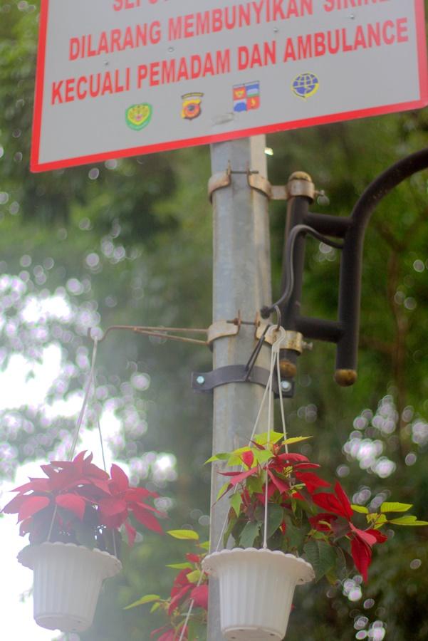 Kastuba atau Poinsettia gantung di trotoar istana dan kebun raya bogor003