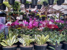 Tidak Perlu Ke Nursery, Belanja Tanaman Hias Di Saung Anggrek Nina Dewi Saja