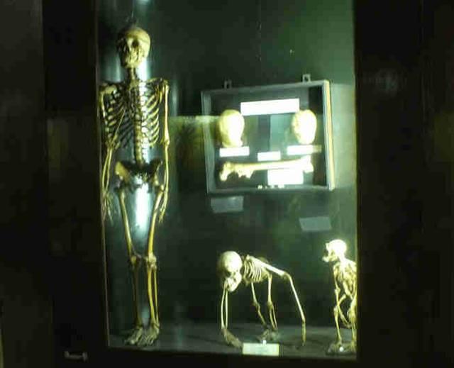 Museum Zoologi Bogor Dalam Foto - Kerangka Primata
