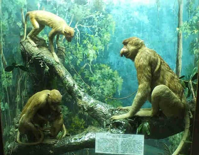 Museum Zoologi Bogor Dalam Foto - Spesimen primata